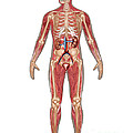 Urinary, Skeletal & Muscular Systems by Gwen Shockey