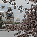 Us Capitol - Cherry Blossoms - Washington Dc - 01132 by DC Photographer