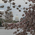 Us Capitol - Cherry Blossoms - Washington Dc - 01133 by DC Photographer