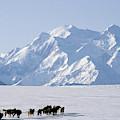 Usa, Alaska, Sled Dogs, Park Ranger by Gerry Reynolds