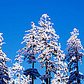 Usa, Oregon, Pine Trees, Winter by Panoramic Images