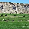 Utah Farm Cows by Ted Pollard