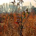 Autumn Grass6277 by Carolyn Stagger Cokley