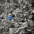 Vagabon Blue Bird by Image Takers Photography LLC