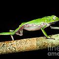 Vaillantis Monkey Frog by Dante Fenolio