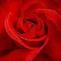 Valentine Rose by Mark Llewellyn