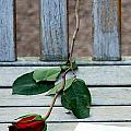 Valentine Rose. by Oscar Williams