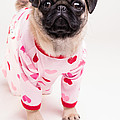 Valentine's Day - Adorable Pug Puppy In Pajamas by Edward Fielding