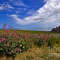 Valerian By A Stone Wall On The Northumberland Coast by Louise Heusinkveld