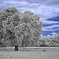 Valley Oak #2 by Alan Kepler