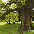 Valley Oak by Ron Sanford