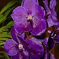 Vanda Dark Purple by Nancy Chenet