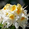 Vanilla Butterscotch by Susan Herber