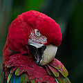 Vanity-close Up Of A Green Winged Macaw by Eti Reid