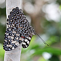 Variable Cracker Butterfly by Judy Whitton