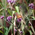 Variegated Fritillary Butterfly by Karen Adams