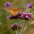 Variegated Fritillary Butterfly Square by Karen Adams
