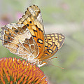Variegated Fritillary On Cone Flower by David and Carol Kelly