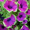 Variegated Petunias by Georgia Hamlin
