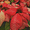 Variegated Poinsettia by Joy Jolley