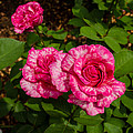 Variegated Roses by Allen Sheffield