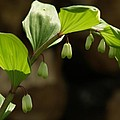 Variegated Solomon's Seal In Spring - Pennsylvania by Anna Lisa Yoder