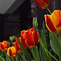 Variegated Tulips by Lilliana Mendez
