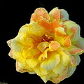 Variegated Yellow Rose by Joyce Dickens