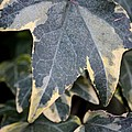 Varigated Ivy Leaves by Maria Urso