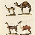 Various Camels by Splendid Art Prints