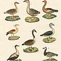 Various Kinds Of Geese by Splendid Art Prints