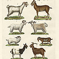 Various Kinds Of Goats And Bucks by Splendid Art Prints