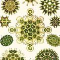Varities Of Pediastrum From Kunstformen Der Natur by Ernst Haeckel