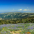 Vast View And Lupine by Robert Bales