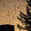 Vaux's Swifts In Migration by Garry Gay