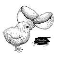 Vector Vintage Hand Drawn Chicken Baby by Epine