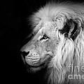 Vegas Lion - Black And White by Ian Monk