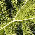 Veins Of A Leaf by John Wadleigh