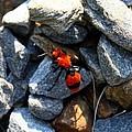 Velvet Ant by Kathryn Meyer