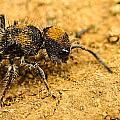 Velvet Ant by Tyler Lucas