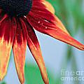 Velvet Petals by Kerri Farley
