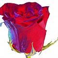 Velvet Rose Bud 2 by Carol Lynch