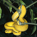 Vemonous Mcgregors Pit Viper Coiled by San Diego Zoo