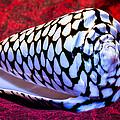 Venomous Conus Shell by Robert Storost