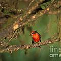 Vermillion Flycatcher by Ron Sanford