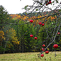 Vermont Apples by Donna Lee Young
