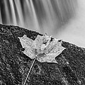 Vermont Autumn Maple Leaf Black And White by Andy Gimino