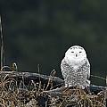Vermont Snowy Owl by John Vose
