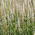 Veronicastrum Virginicum by Science Photo Library