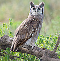 Verreauxs Eagle-owl Bubo Lacteus by Panoramic Images